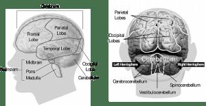 brain-148131_640